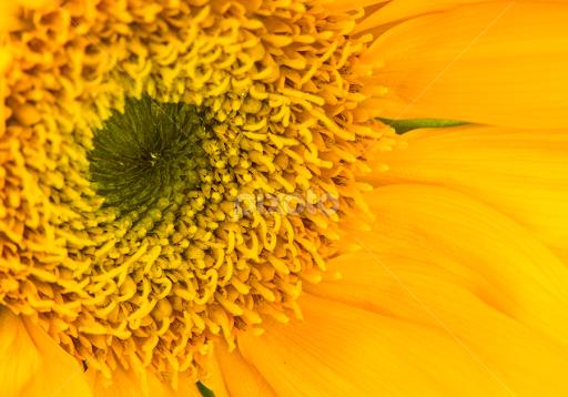 Green center single flower flowers pixoto green center by eva ryan flowers single flower macro yellow flower mightylinksfo