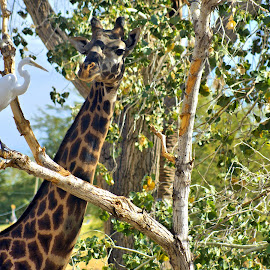 We Need  to talk by Jo Gonzalez - Animals Other ( face, giraffe, beak, egret, talk )