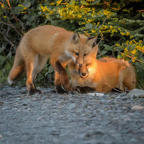 Foxy Kids by Ronnie Sue Ambrosino - Animals Other Mammals ( yearling, red fox, siblings, newfoundland, fox,  )