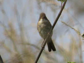 Photo: 18 Jul 13 Priorslee Lake: Today's juvenile Common Whitethroat: he is clearly a teenager going through his 'punk' phase! (actually he is much younger than that with quite extensive yellow on the gape still). (Ed Wilson)