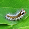Clearwing Tussock Moth / Banyan Tussock Moth Caterpillar