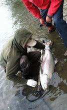 Photo: Nigel Fox of Alaska Drift Away Fishing about to release a 30 plus pound late June Kasilof River King Salmon.