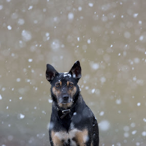 Snow! by Anne Young - Animals - Dogs Portraits (  )