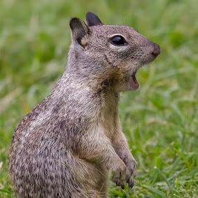 Oh My God! by David Hammond - Animals Other Mammals ( wild, animals, nature, ground squirrel, mammal, squirrel,  )