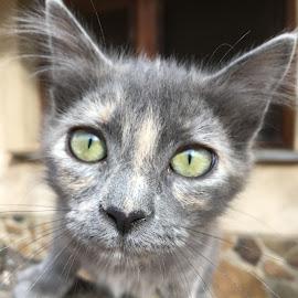 Luzi by Marianne Fischer - Animals - Cats Kittens ( kitten, cat, grey,  )