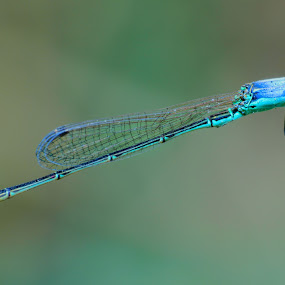 Dragon Fly, i'm Alone by Abdie Dedde Darrell - Animals Insects & Spiders ( macro, animal )