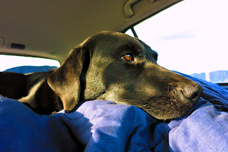 """Photo: Lucy had a cushy ride on our """"bed"""" in the back of the Subaru"""