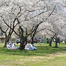 Photo: Eating lunch under the cherry blossoms
