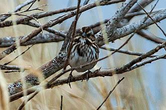 Photo: Song Sparrow, Quidi Vidi Lake, Dec 4 2013