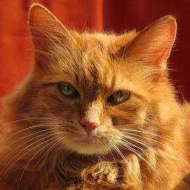 by John Phielix - Animals - Cats Portraits (  )