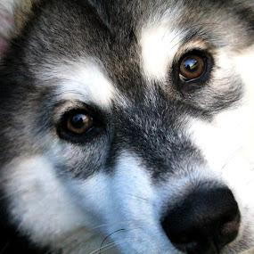 Look into my Eyes. by Kevin Hill - Animals - Dogs Portraits ( dog portrait, husky, puppy, dog, eyes,  )