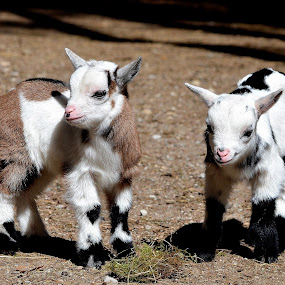 by Kristina Nutautiene - Animals Other ( kids  goat  goats  goatlings animals )