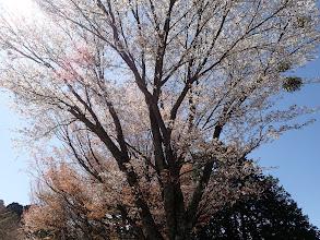 林道沿いにも山桜
