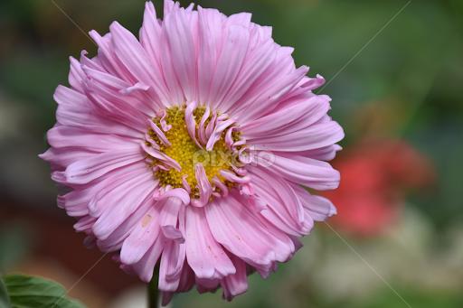 Nice pink summer flower single flower flowers pixoto nice pink summer flower by ladocki elvira flowers single flower floral flowers mightylinksfo