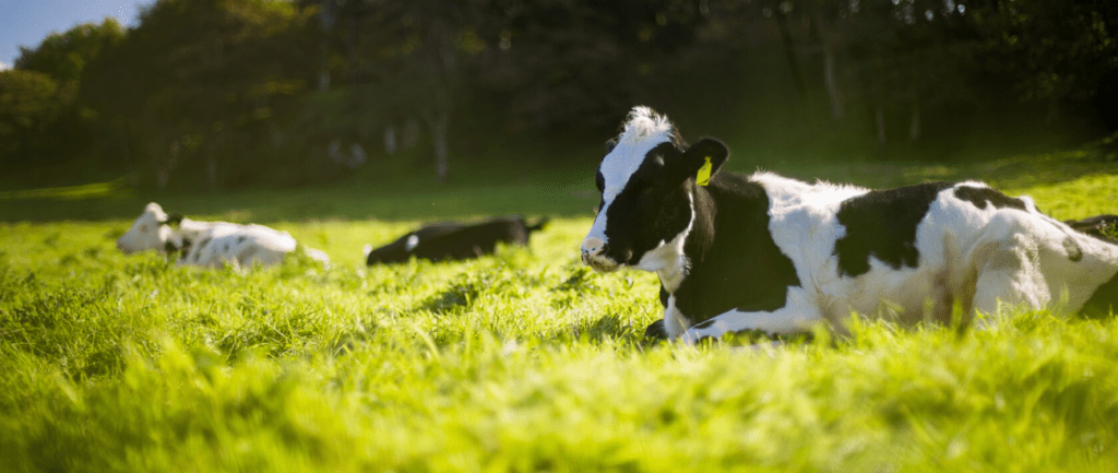 cow laying on grass