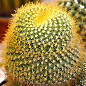 Cactus Plant by Umair Nayab - Nature Up Close Other plants ( plant, flower, cactus,  )