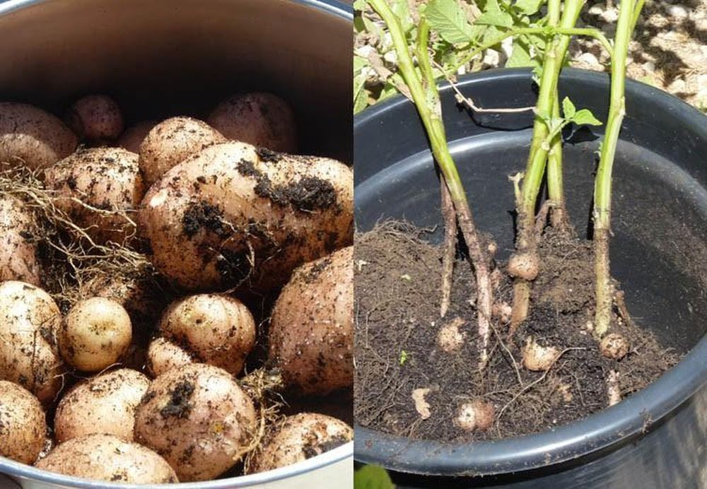 Cách trồng khoai tây trong chậu cho củ sai, to tròn: Mẹ không tốn nhiều công vẫn thu hoạch cả rổ