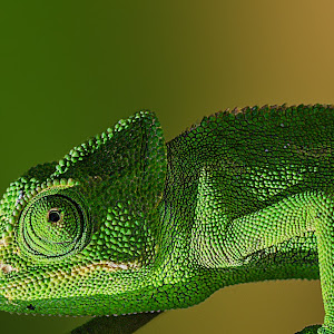 Camaleón-2 pixoto.jpg