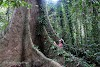 Indonesia. Borneo Kalimantan Orangutans. Searching for Orangutans on the tall sangkwang tree