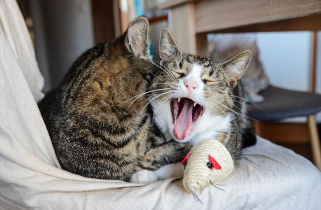 mèo đực thường to hơn mèo cái