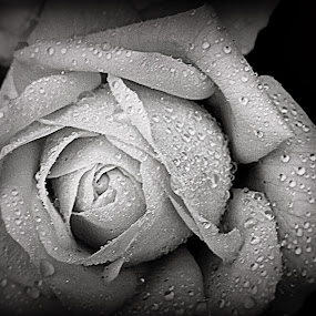 B&W Rose by Rach Mathias - Nature Up Close Flowers - 2011-2013 ( macro, nature, black & white, flower )