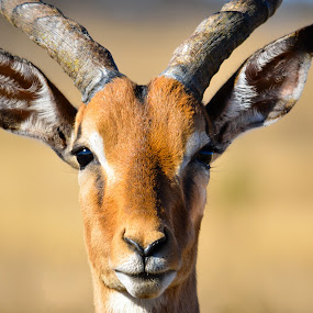 Impala by Marc Crowther - Animals Other Mammals (  )