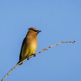 Cedar Waxwing by Chad Roberts - Animals Birds ( sky, cedar waxwing, waxwing, bird, tree, perch,  )