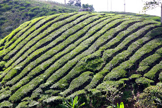 Photo: Year 2 Day 115 - Rows of Tea Bushes