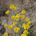 Woolly yellow daisy