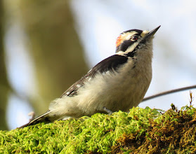 Photo: Male Downy Woodpecker