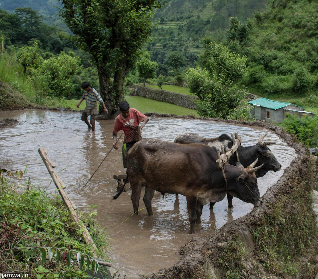 Farmers working in their paddy fields