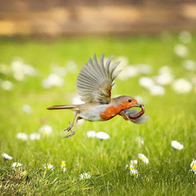 And Away! by Dave Roberts - Animals Birds ( robin, birds,  )