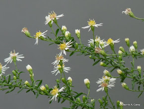 Photo: Small white aster (Symphyotrichum racemosum)