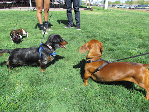 Photo: The Wiener dogs size up the field before the races. Photo by Turf Paradise