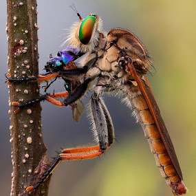 Purple Breakfast..... by Vincent Sinaga - Animals Insects & Spiders
