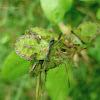 Coreidae (juvenile) Hemiptera