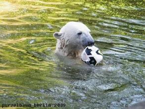 Photo: Knut beim Wasserball ;-)