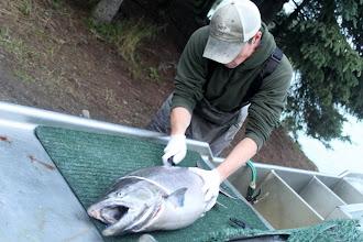 Photo: Nigel Fox of Alaska Drift Away Fishing filleting a Kasilof River King Salmon.