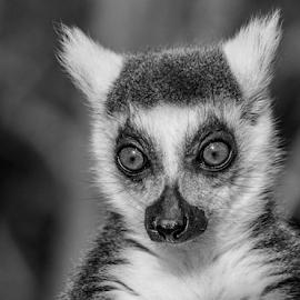 Lemur by Garry Chisholm - Black & White Animals ( nature, ring tail, garrychisholm, primate, lemur )