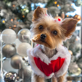 First Christmas by Kathy Suttles - Public Holidays Christmas ( suttlimpressions, holiday time, all dressed up, ebony, 1st christmas, puppy portrait,  )