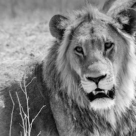by Steven Liffmann - Black & White Animals ( lion )