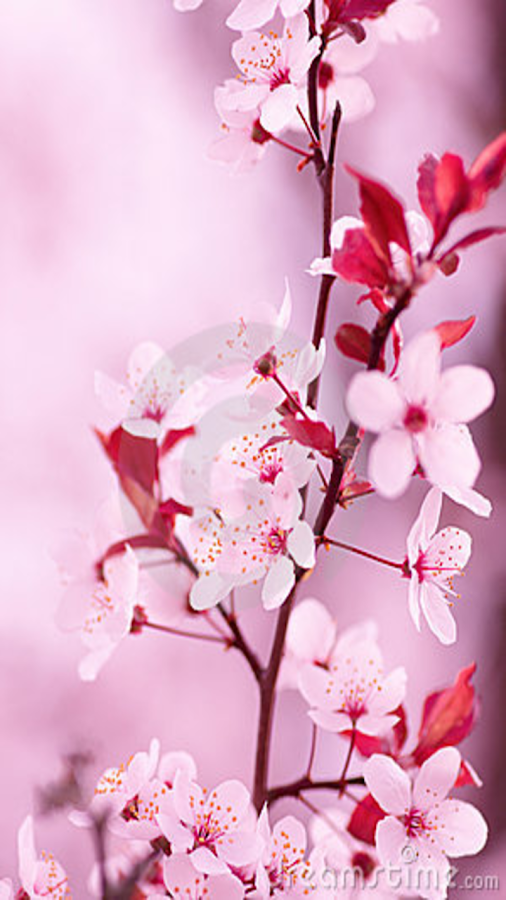 Cherry Blossom Wallpaper Android Apps On Google Play