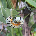 Blue Tiger Butterfly Caterpillar (Life cycle)