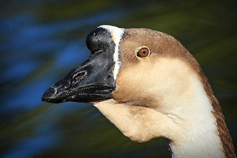 Oca Cinese la forma domestica dell'Oca Cignoide di massimo bertozzi