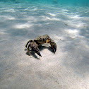 Warty crab