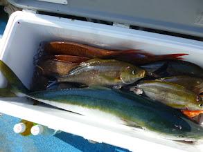 Photo: クマガイさんの釣果!真鯛、イサキ・・・そして!