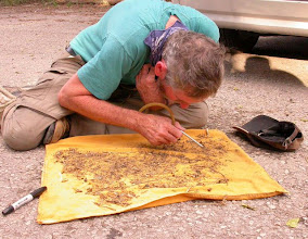 Photo: Examining sifted material to collect live Staphylinids and other beetles