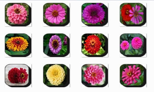New Zinnia Flowers Onet Game