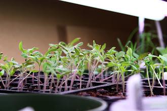 Photo: Tomato seedlings - 2 wks