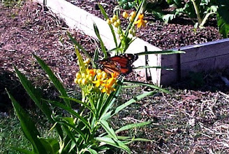 Photo: Monarch Butterfly 11/17/10